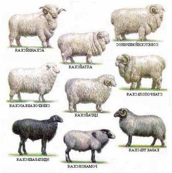 лучшие породы овец в россии