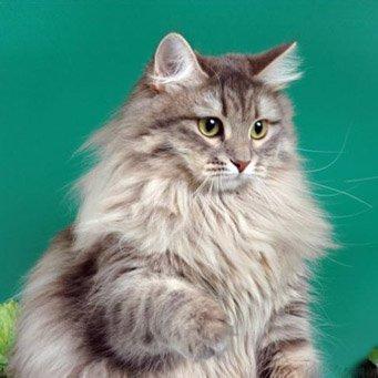 Повадки сибирской кошки что нужно