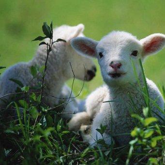 лекарство для овец от чесотки и глистов