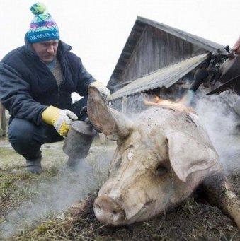 Как зарезать свинью: практические советы