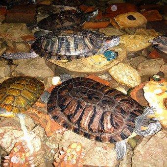 Южноамериканская красноухая черепаха
