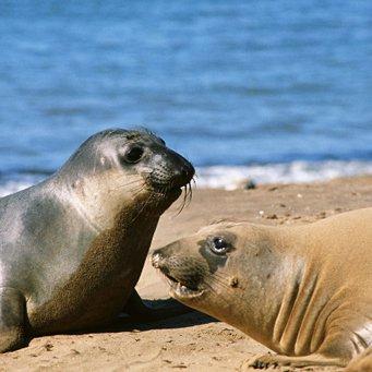 морской лев и морской котик отличия фото