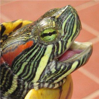 Черепахи в домашних условиях маленькие