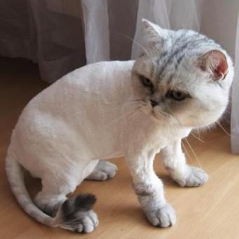 Разрыв параанальных желез у кошек