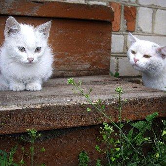как познакомить двух взрослых кошек