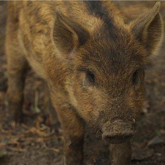 Кормление свиней домашних условиях