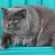 Когда начинается первая течка у британских кошек? Советы владельцам, если начинается течка у британских кошек