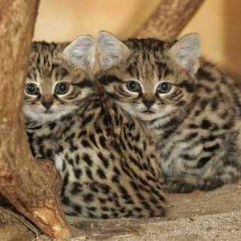 Как правило маленькие породы кошек