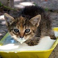 Как начинать первый прикорм котят?