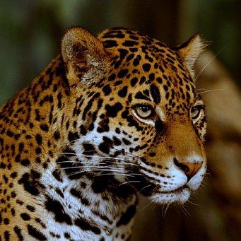 зверь ягуар фото