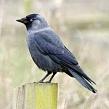 Птица галка: гнездование и образ жизни