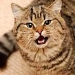 При наличии оксалатов в моче у кота, <strong>дегу уход и содержание в домашних условиях</strong> что рекомендуется? Оксалаты в моче у кота, на что указывают?