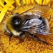 """На букву  """"Ж """", про пчелиное жало и ужаление."""