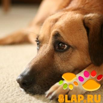 Собаки болеют так же, как и человек.  Но в отличие от людей, они не могут сказать, что им плохо, редко даже скулят.