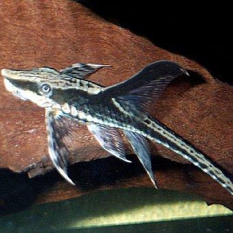 сомики аквариумные виды с фото