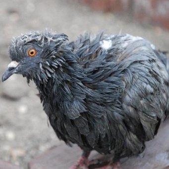оспа у голубей как лечить фото