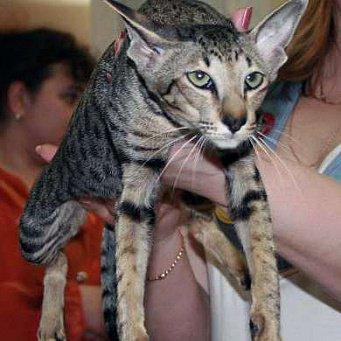 Порода восточных котов
