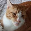 Опух подбородок у кошки: причина воспаления. Появилась шишка на подбородке у кошки