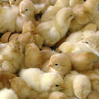 цыплят и их знакомые
