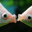 Как размножаются рыбы в естественной среде?