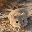 Песчанки в пустыне: описание