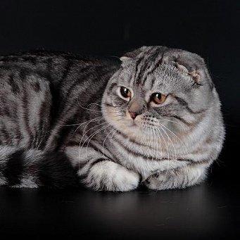 британская кошка окраса вискас: