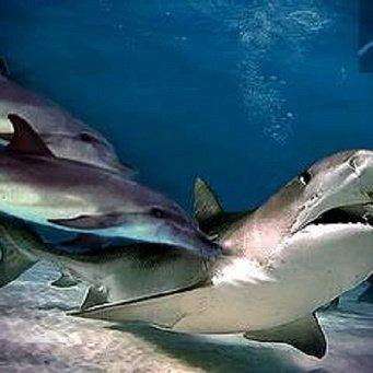 Касатка против белой акулы