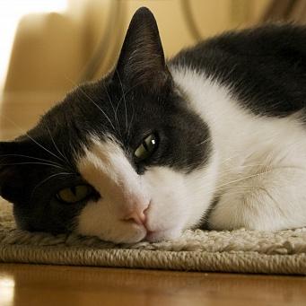 Почему хрустят суставы у кошки ложный сустав правой ключицы