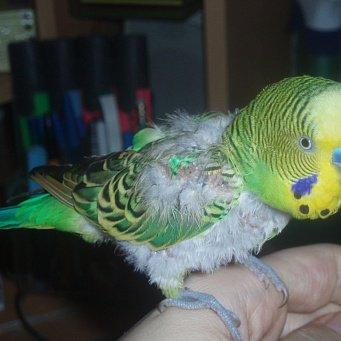 , почему у попугая выпали перья ...