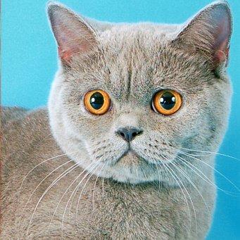 Почему у кошки горячие уши?