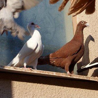 Определенная группа пород голубей