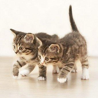 Как котенку сделать родословную 554