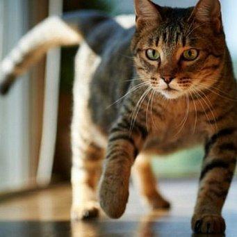 Почему кот бросается на хозяина