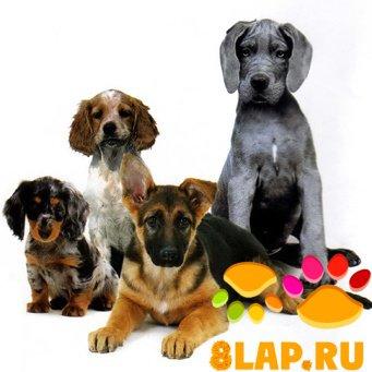 К вопросу пироплазмоза собак.