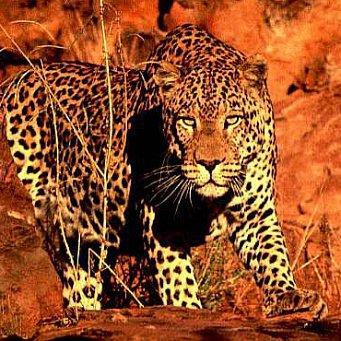 Магический взгляд леопарда  Взгляд Леопарда