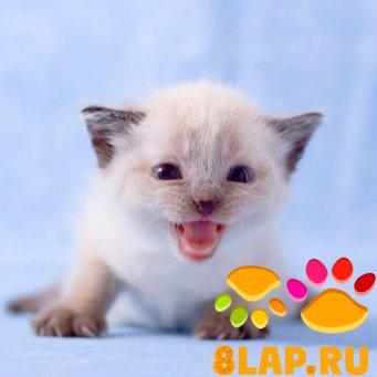 """Предпросмотр схемы вышивки  """"Злой котенок """".  Злой котенок, фауна, животные, кошки."""