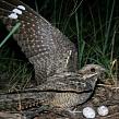 Козодой: места обитания, питание и размножение птиц