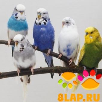 В данном топике предлагаю выкладывать фотографии волнистых попугаев.