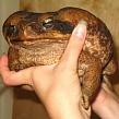 Какие бывают жабы?