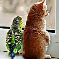 Как приучить кошку к попугаю?