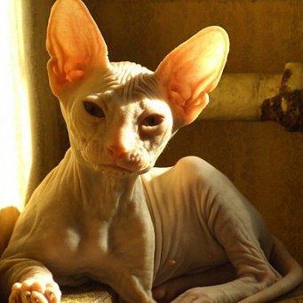 От чего облезают уши у кота