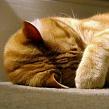 К чему кошка прячет нос? Кошка прячет нос - к морозу