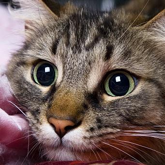 Бешенство у котов как проявляется