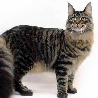 Коты большого размера фото