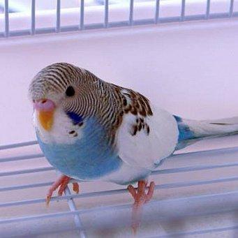 Попугаи в домашних условиях отзывы