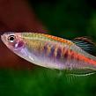 Всё о карпообразных рыбках: как содержать карпообразных рыб?