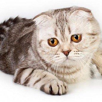 Коты шотландцы вислоухие клички для