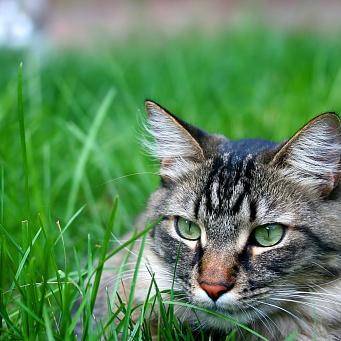 Хрустит сустав у кота