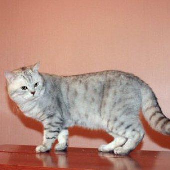 С кем вязать шотландскую вислоухую кошку