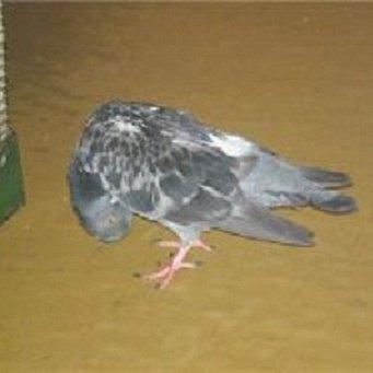 Как лечить вертячку у голубей видео 111